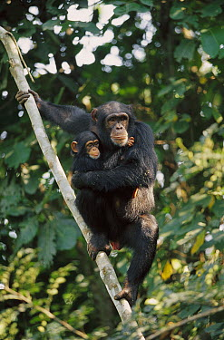 Chimpanzee (Pan troglodytes) mother and infant, Guinea  -  Cyril Ruoso