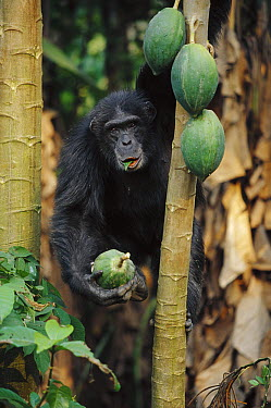 Chimpanzee (Pan troglodytes) eating and carrying fruit, Guinea  -  Cyril Ruoso