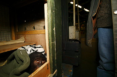 Bonobo (Pan paniscus) seized in Charles de Gaulle International Airport in Paris on the 22 of December 2005 is returning to Africa to Lola Ya Bonobo Sanctuary  -  Cyril Ruoso
