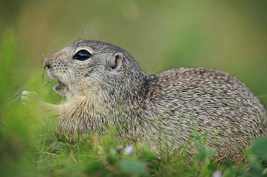 Tien Shan Ground Squirrel (Spermophilus relictus) eating grasses, Kyrgyzstan  -  Cyril Ruoso