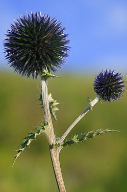 Globethistle (Echinops sp) flowers, Kyrgyzstan  -  Cyril Ruoso