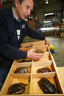 Home's Hingeback Tortoise (Kinixys homeana) individuals for the pet trade are checked in customs in regard to CITES and local law, France  -  Cyril Ruoso