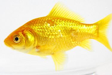 Goldfish (Carassius auratus) in an aquarium, France  -  Cyril Ruoso