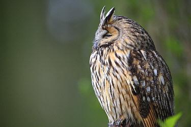 Long-eared Owl (Asio otus), France  -  Cyril Ruoso