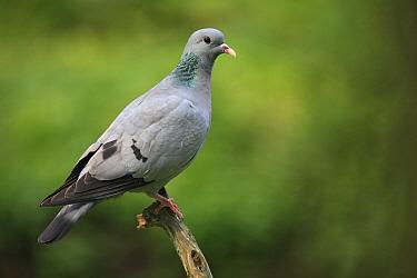 Stock Dove (Columba oenas), France  -  Cyril Ruoso