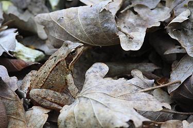 Agile Frog (Rana dalmatina) in leaf litter, France  -  Cyril Ruoso