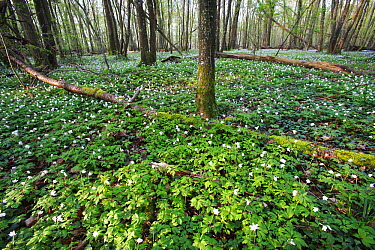 Wood Anemone (Anemone nemorosa) flowers covering forest floor, France  -  Cyril Ruoso