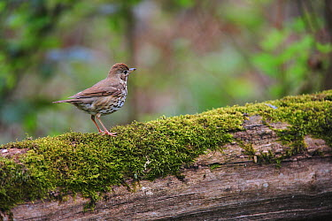 Mistle Thrush (Turdus viscivorus) on log, France  -  Cyril Ruoso