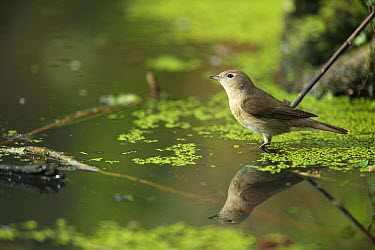 Garden Warbler (Sylvia borin) standing in water, France  -  Cyril Ruoso