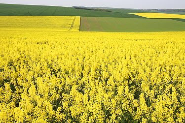 Field Mustard (Brassica rapa) field, France  -  Cyril Ruoso