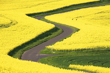 Field Mustard (Brassica rapa) fields and road, France  -  Cyril Ruoso