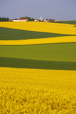 Field Mustard (Brassica rapa) field and village, France  -  Cyril Ruoso