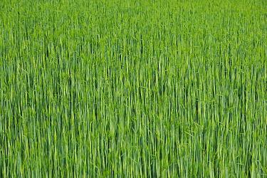 Barley (Hordeum sp) field, France  -  Cyril Ruoso