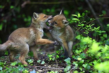 Red Fox (Vulpes vulpes) pups playing, Burgundy, France  -  Cyril Ruoso