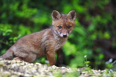 Red Fox (Vulpes vulpes) pup, Burgundy, France  -  Cyril Ruoso