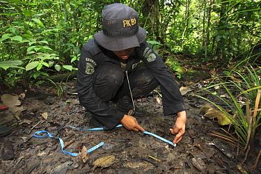 Sumatran Rhinoceros (Dicerorhinus sumatrensis) anti-poaching team member measuring track, Way Kambas National Park, Sumatra, Indonesia  -  Cyril Ruoso