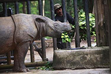 Sumatran Rhinoceros (Dicerorhinus sumatrensis), a formerly wild animal accustomed to humans placed into enclosure for her own protection against poachers, Sumatran Rhino Sanctuary, Way Kambas National...  -  Cyril Ruoso