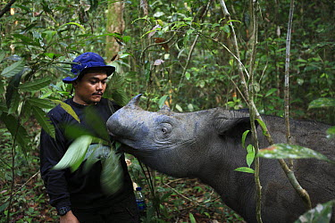 Sumatran Rhinoceros (Dicerorhinus sumatrensis), a formerly wild animal accustomed to humans placed into enclosure for her own protection against poachers eating leaves next to keeper, Sumatran Rhino S...  -  Cyril Ruoso