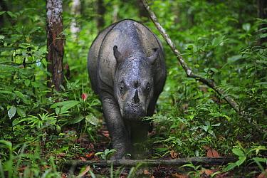 Sumatran Rhinoceros (Dicerorhinus sumatrensis) female, Sumatran Rhino Sanctuary, Way Kambas National Park, Sumatra, Indonesia  -  Cyril Ruoso