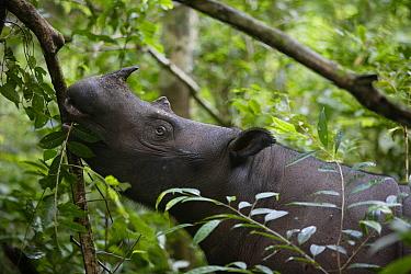 Sumatran Rhinoceros (Dicerorhinus sumatrensis) female eating leaves, Way Kambas National Park, Sumatra, Indonesia  -  Cyril Ruoso