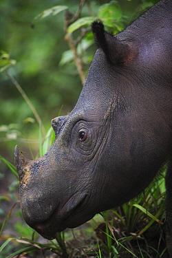 Sumatran Rhinoceros (Dicerorhinus sumatrensis) female eating leaves, Sumatran Rhino Sanctuary, Way Kambas National Park, Sumatra, Indonesia  -  Cyril Ruoso
