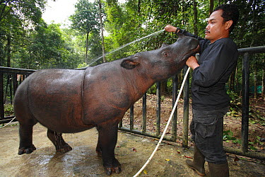 Sumatran Rhinoceros (Dicerorhinus sumatrensis), a formerly wild animal accustomed to humans placed into enclosure for her own protection against poachers, Sumatran Rhino Sanctuary, Way Kambas National...  -  Cyril Ruoso