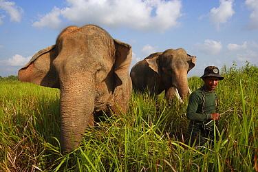Asian Elephant (Elephas maximus) pair, domesticated animals, with keeper, Way Kambas National Park, Sumatra, Indonesia  -  Cyril Ruoso