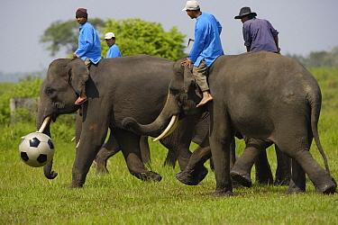 Asian Elephant (Elephas maximus) group with men riding on their backs playing soccer, Way Kambas National Park, Sumatra, Indonesia  -  Cyril Ruoso