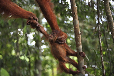 Sumatran Orangutan (Pongo abelii) baby being pulled by mother, Gunung Leuser National Park, Sumatra, Indonesia