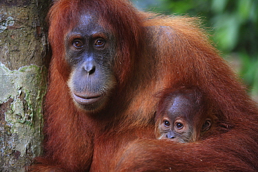 Sumatran Orangutan (Pongo abelii) baby and mother, Gunung Leuser National Park, Sumatra, Indonesia