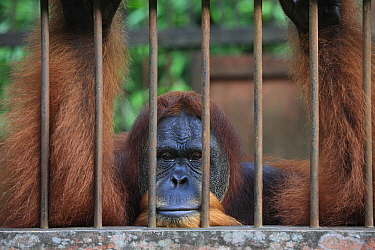 Sumatran Orangutan (Pongo abelii) male in cage, Gunung Leuser National Park, Sumatra, Indonesia