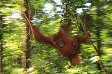 Sumatran Orangutan (Pongo abelii) mother and young swinging through rainforest, Gunung Leuser National Park, Sumatra, Indonesia