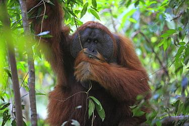 Sumatran Orangutan (Pongo abelii) male sleeping, Gunung Leuser National Park, Sumatra, Indonesia