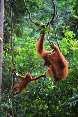 Sumatran Orangutan (Pongo abelii) mother and young hanging on lianas, Gunung Leuser National Park, Sumatra, Indonesia