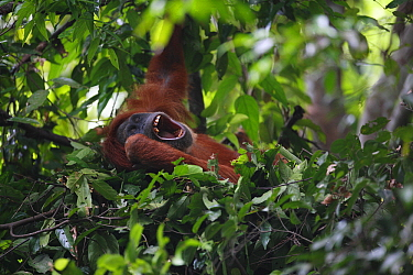 Sumatran Orangutan (Pongo abelii) yawning in leaf nest, Gunung Leuser National Park, Sumatra, Indonesia
