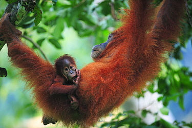 Sumatran Orangutan (Pongo abelii) mother and young, Gunung Leuser National Park, Sumatra, Indonesia