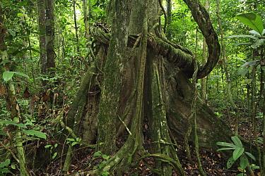 Rainforest interior, Way Kambas National Park, Sumatra, Indonesia  -  Cyril Ruoso