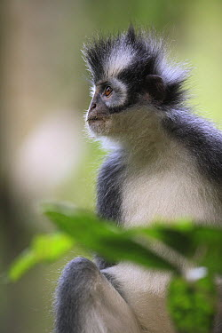 North Sumatran Leaf Monkey (Presbytis thomasi), Gunung Leuser National Park, Sumatra, Indonesia  -  Cyril Ruoso