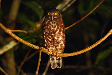 Brown Hawk-Owl (Ninox scutulata), Way Kambas National Park, Sumatra, Indonesia  -  Cyril Ruoso