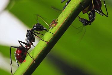 Ant (Formicidae) pair with aphid, Way Kambas National Park, Sumatra, Indonesia  -  Cyril Ruoso
