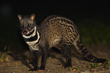 Malayan Civet (Viverra tangalunga) at night, Malaysia  -  Cyril Ruoso