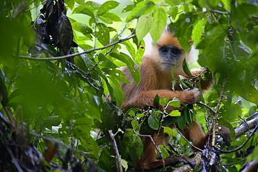 Banded Leaf Monkey (Presbytis melalophos), Maninjau Lake, Indonesia  -  Cyril Ruoso