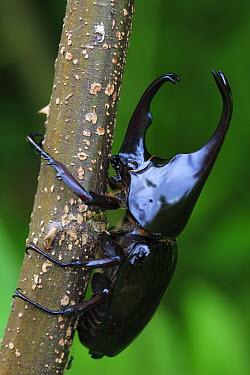 Rhinoceros Beetle (Xylotrupes gideon), Maninjau Lake, Indonesia  -  Cyril Ruoso