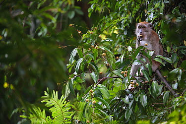 Long-tailed Macaque (Macaca fascicularis) eating fruit, Gunung Leuser National Park, Sumatra, Indonesia  -  Cyril Ruoso