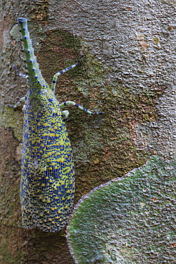 Lantern Bug (Fulgora sp) camouflaged on tree trunk, Gunung Leuser National Park, Sumatra, Indonesia  -  Cyril Ruoso