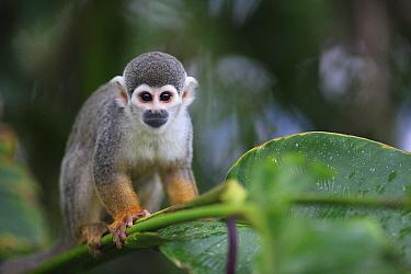 South American Squirrel Monkey (Saimiri sciureus) portrait, Peru  -  Cyril Ruoso