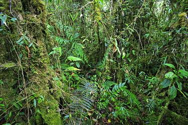 High altitude rainforest undergrowth, 1800 meters, Cordillera Azul National Park, Peru  -  Cyril Ruoso