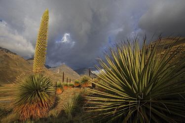 Puya (Puya raimondii) blooming in Altiplano, Cordillera Blanca Mountain Range, Andes, Peru  -  Cyril Ruoso