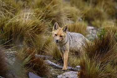 Culpeo (Lycalopex culpaeus) in Altiplano, Cordillera Blanca Mountain Range, Andes, Peru  -  Cyril Ruoso