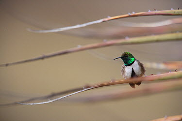 Green-headed Hillstar (Oreotrochilus stolzmanni) hummingbird male perched on Puya (Puya raymondii) in Altiplano, Cordillera Blanca Mountain Range, Andes, Peru  -  Cyril Ruoso